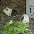 Pretty and Grandma the guinea pigs enjoy a lettuce lunch